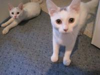 Domestic Short Hair - White Meet Jelly and Bean! These