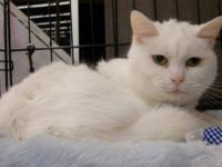 Domestic Short Hair - White Our Cat Program is closing