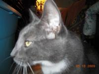 Domestic Short Hair - White Calypso and Calliope were