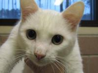 Domestic Short Hair - White - Arctic Andy - Small -