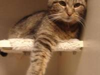 Domestic Short Hair - White - Bella Grace - Medium -