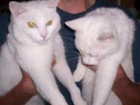 Domestic Short Hair - White - Ginsu - Medium - Adult -