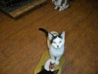 Domestic Short Hair - White - Jake - Medium - Senior -