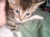 Domestic Short Hair - White - Jakob - Medium - Baby -
