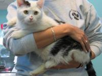 Domestic Short Hair - White - Jaxx - Small - Adult -
