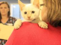 Domestic Short Hair - White - John 2 - Medium - Young -