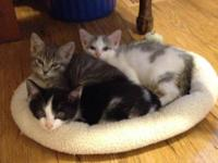 Domestic Short Hair - White - Kittens At Germantown