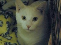 Domestic Short Hair - White - Leo - Large - Young -