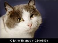 Domestic Short Hair - White - Maude - Medium - Adult -