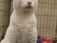 Domestic Short Hair - White - Missy - Medium - Young -