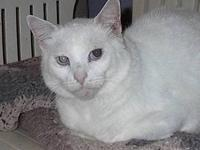 Domestic Short Hair - White - Mort - Large - Adult -
