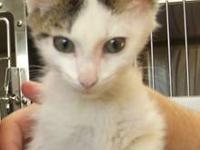 Domestic Short Hair - White - Pete - Large - Baby -