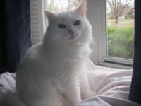 Domestic Short Hair - White - Princess - Large - Adult