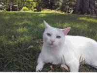 Domestic Short Hair - White - Princess - Medium - Adult