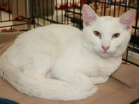 Domestic Short Hair - White - Ripley - Medium - Young -