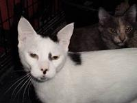 Domestic Short Hair - White - Selena - Medium - Adult -