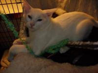 Domestic Short Hair - White - Sigfried - Small - Young
