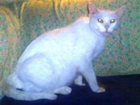 Domestic Short Hair - White - Snow $75 - Large - Young