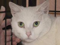 Domestic Short Hair - White - Snow - Medium - Adult -