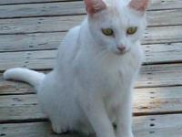 Domestic Short Hair - White - Snow White - Medium -