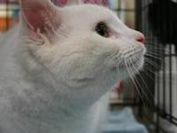 Domestic Short Hair - White - Sugar - Medium - Adult -