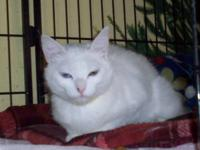 Domestic Short Hair - White - Swan - Small - Young -