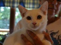Domestic Short Hair - White Tail - Medium - Young -