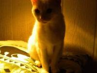 Domestic Short Hair - White - Vanilla - Large - Adult -