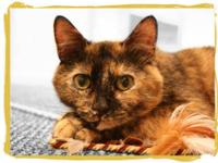 Domestic Short Hair - Whitney - Medium - Young - Female