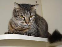 Domestic Short Hair - Wiggles - Medium - Adult - Female