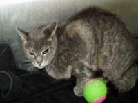 Domestic Short Hair - Willis - Large - Adult - Male -
