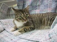 Domestic Short Hair - Willow - Medium - Adult - Female