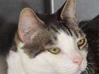 Domestic Short Hair - Winston - Large - Adult - Male -