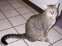 Domestic Short Hair - Yoyo - Large - Adult - Male -