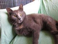 Domestic Short Hair - Zada - Small - Young - Female -