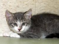 Domestic Short Hair - Zephyr - Medium - Baby - Female -