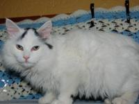 Domestic Short Hair - Zeus - Small - Adult - Male -