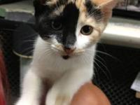 Domestic Short Hair - Zira - Small - Young - Female -
