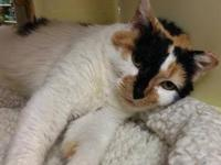 Domestic Short Hair - Zoey - Small - Adult - Female -