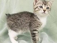 's story Hope is a seven week old, female Tabby.