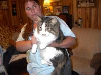 Domestic Long Hair - Buff - Adult Cats - Medium - Adult