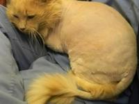 Domestic Long Hair - Jerry - Large - Adult - Male -