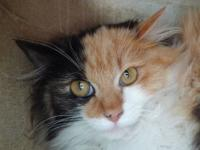 Domestic Long Hair - Lucy - Medium - Adult - Female -