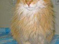 Domestic Long Hair - Orange - Simba - Large - Adult -