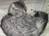Domestic Long Hair - Spooky - Small - Adult - Female -