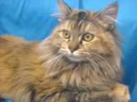 Domestic Long Hair - Sunny - Medium - Adult - Female -