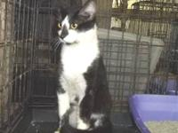 Domestic Medium Hair - Black and white - Fancy - Medium