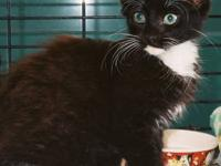 Domestic Medium Hair - Black and white - Johnny C -