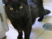 Domestic Medium Hair - Black - Bambi - Medium - Young -