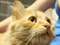 Domestic Medium Hair - Brad - Large - Young - Male -